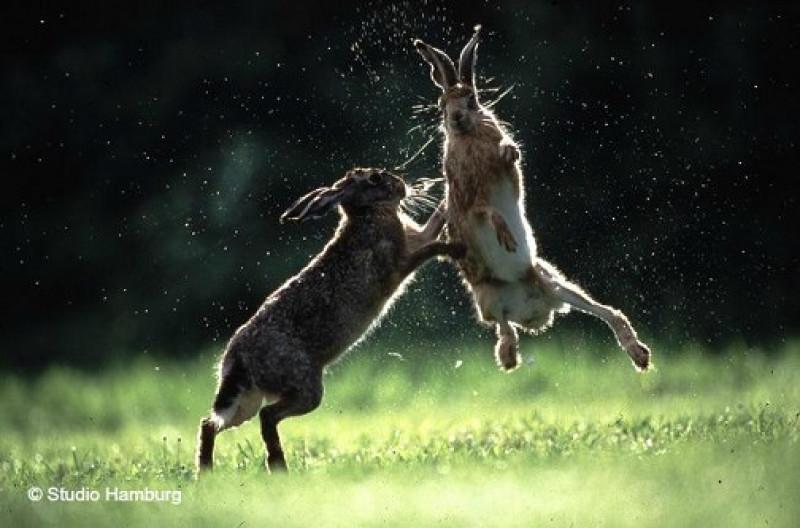 iepurii intre salbaticie si oras