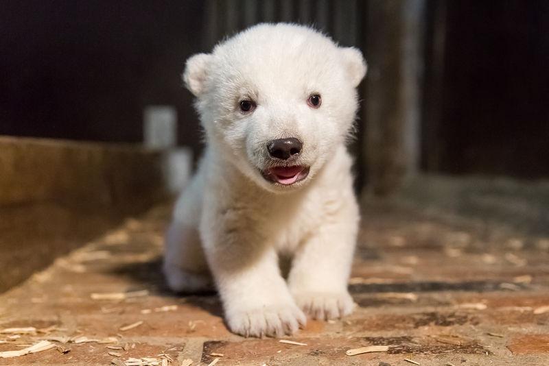 ursuletul polar