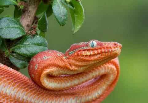 """Și șerpii pot """"zbura""""! Cum explica cercetătorii fenomenul spectaculos"""