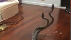 VIDEO: Panica intr-o casa din Australia. Doi pitoni au cazut din tavan in timp ce se luptau