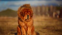 Caini ce arata ca leii. Ce rase seamana cu regele junglei