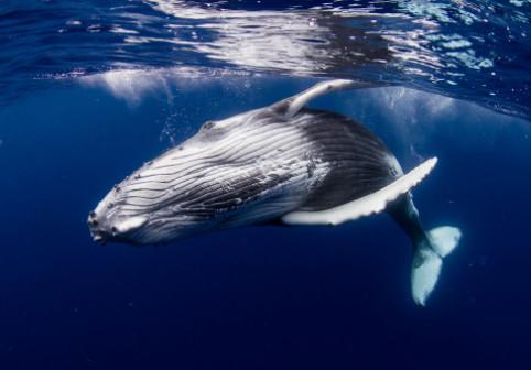 """Un numar """"uimitor"""" de balene albastre a fost observat pe coasta Georgiei de Sud, fostul epicentru al vanatorii de balene"""