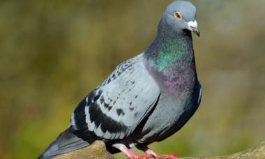 Porumbel vandut cu aproape 2 milioane de dolari. Ce il face atat de special