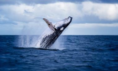 """""""Moment unic in viata"""". O balena cu cocoasa a prins un leu de mare in gura"""