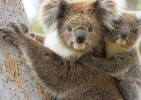 """Primul pui de koala nascut intr-un centru de animale dupa incendiile devastatoare din Australia. """"A fost un moment de incredibil"""""""