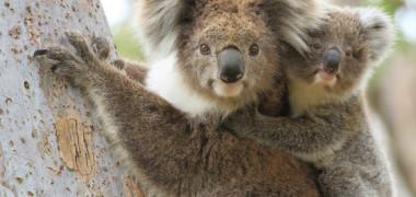 Mamiferele koala sunt acum in stadiul de disparitie functionala, sustine Fundatia pentru Koala din Australia
