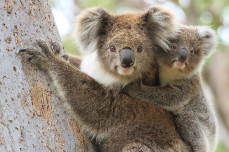 koalasi pui in copac