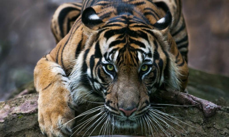 "Un tigru din India a realizat ""cea mai lunga plimbare"". Cati km a parcurs in doar 5 luni"