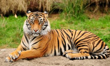 Coronavirus: Un tigru dintr-o gradina zoologica a fost testat pozitiv pentru virusul COVID-19, in premiera mondiala