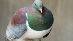 """Un porumbel """"stangaci, beat, mancacios si plin de farmec"""" a castigat titlul de Pasarea Anului in Noua Zeelanda"""