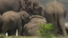 VIDEO: Moment sfasietor intr-o turma de elefanti. Cum au reactionat 300 de elefanti cand si-au luat ramas bun de la conducatorul lor ucis