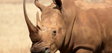 Relaxare pe timp de vară: cel mai rar rinocer din lume, surprins în timp ce făcea o baie cu nămol. VIDEO