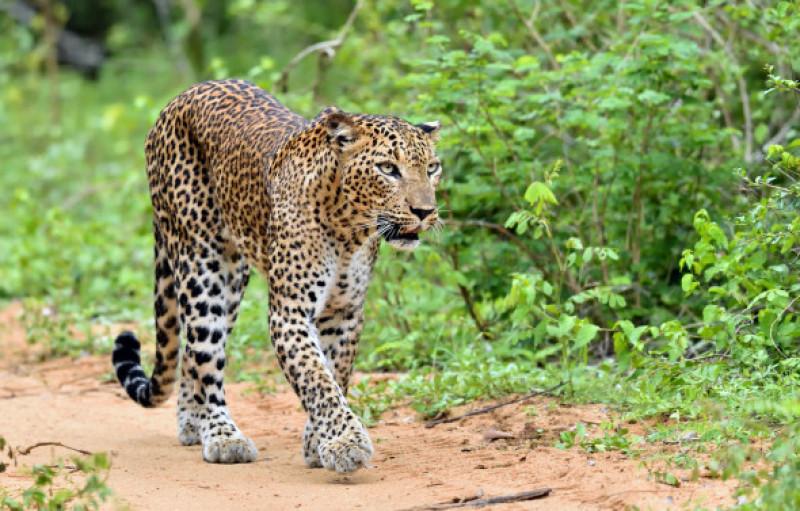 leopard 3