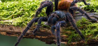 VIDEO: Vezi cum o tarantula se taraste afara din propriul schelet