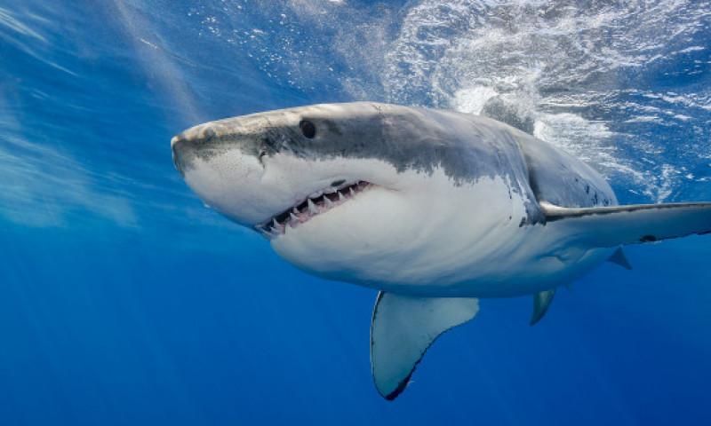 Un rechin alb a stabilit un nou record pentru cea mai înaltă săritură în aer. La ce înălțime impresionantă a ajuns