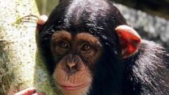 VIDEO: Cimpanzeul care se bucura ca un copil in timp ce face dus. Cum reactioneaza la clabuc
