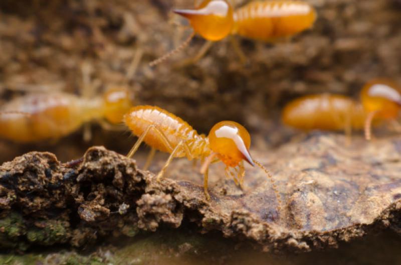 termite (3)