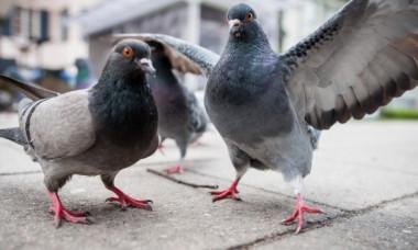 Porumbeii Ollie si Dollie viziteaza zilnic casa unei familii aflate in carantina. Cum au devenit cei mai neobisnuiti invitati