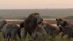 VIDEO: Un leu se lupta pe viata si pe moarte cu 20 de hiene. Ce s-a intamplat cand fratele lui i-a auzit strigatele disperate