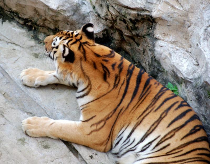 spatele urechilor tigru