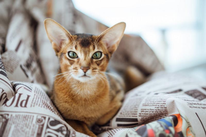 Pisica Abisiana