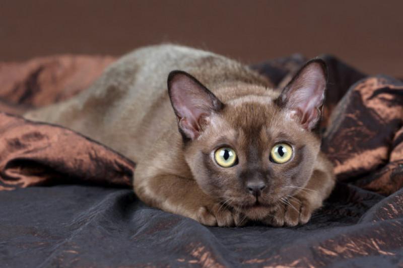 Pisica Burmeza