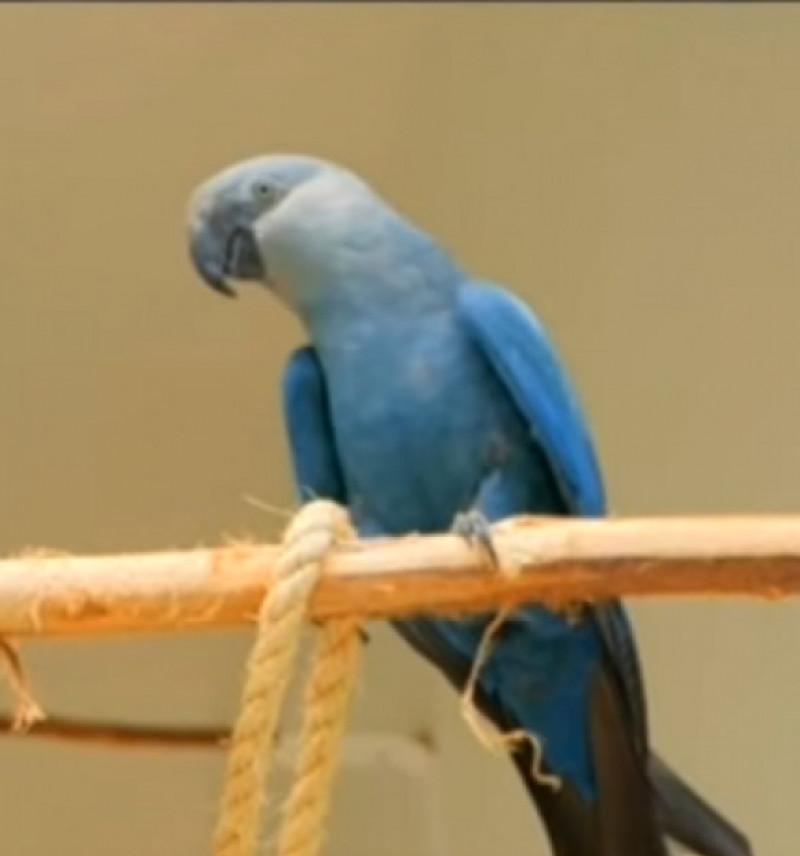 papagal macaw spix rio