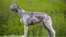 Acestia sunt cei mai inalti caini din lume. Rasa vana lupi in trecut
