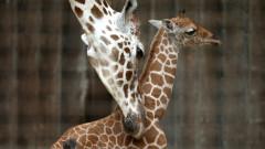 VIDEO: Primii pasi ai unui pui de girafa la doar cateva minute dupa nastere
