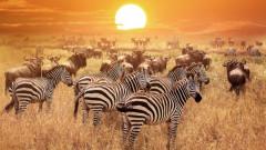 Stiai? Motivul pentru care zebrele au dungi