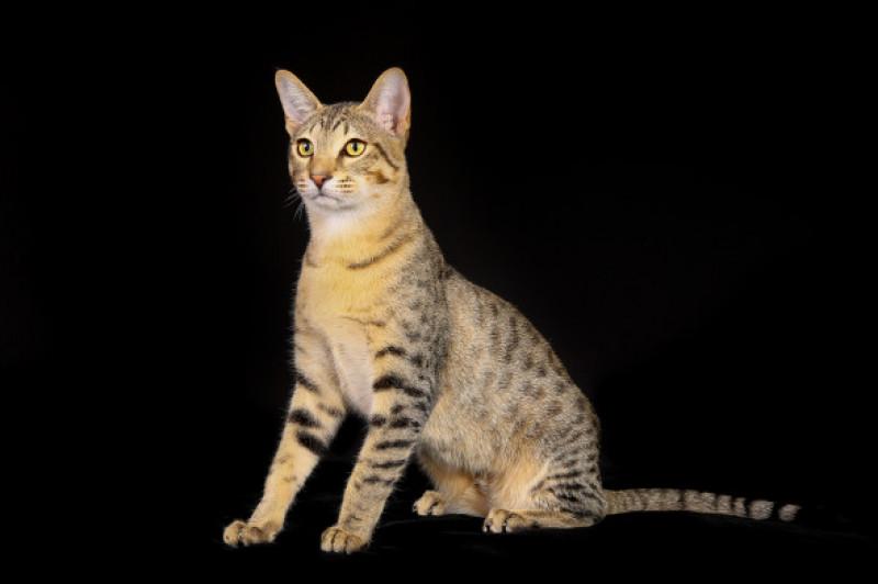Pisica egipteana mau