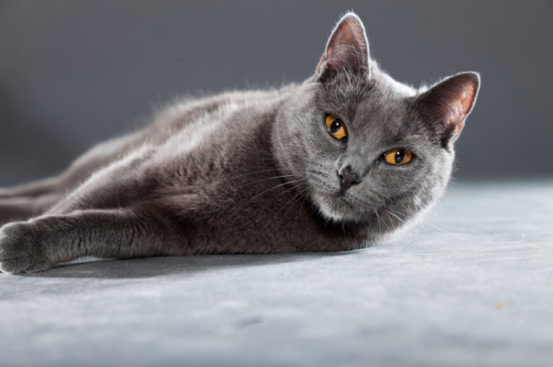 Pisica Chartreux