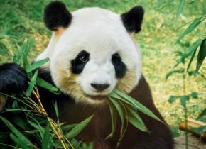 Ursii panda obisnuiau sa manance doar carne. Cum si-au schimbat dieta in doar cateva generatii