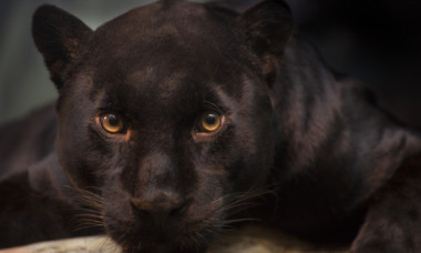 Un leopard negru a fost vazut in Africa pentru prima data in 100 de ani. De ce e atat de rar animalul
