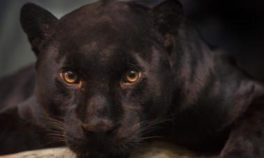 Un leopard negru extrem de rar a fost surprins accidental de un turist. Unde a fost văzut