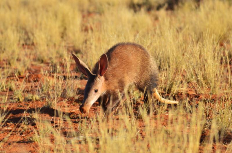 Aardvark in natura