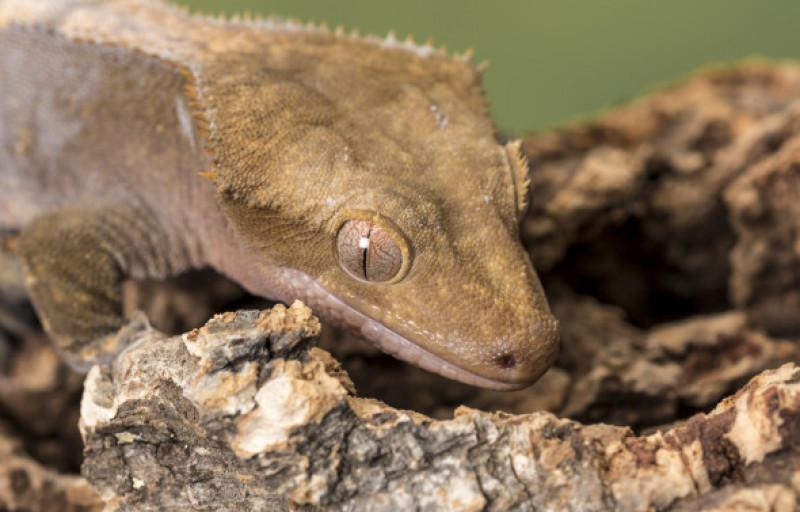 soparla gecko crestat