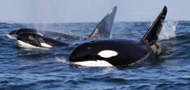 Bunicile balene ucigase cresc sansele de supravietuitoare ale nepotilor. Cum reusesc
