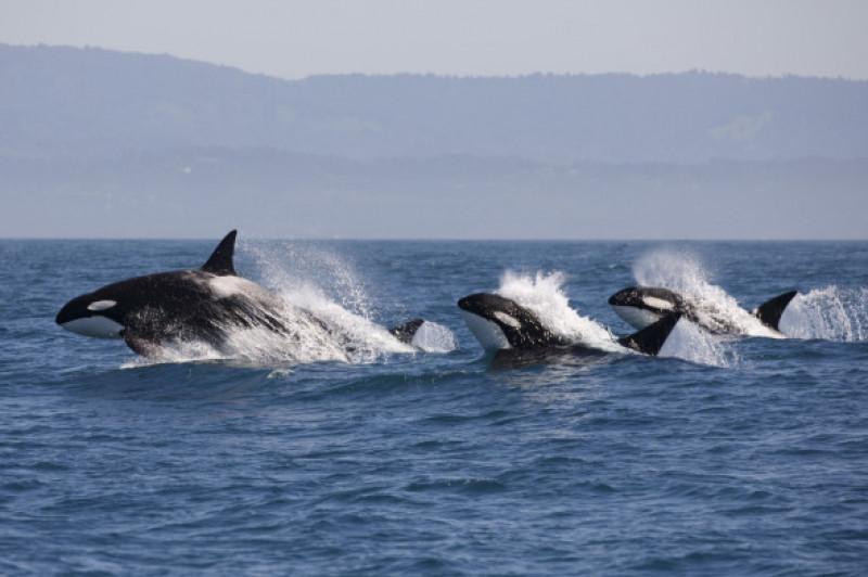 balene ucigase X (2)