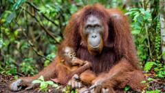 O femela urangutan si-a pierdut puiul si a orbit dupa ce a fost impuscata de 74 de ori