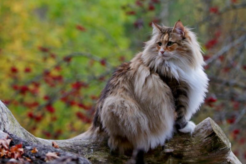 Pisica norvegiana de padure