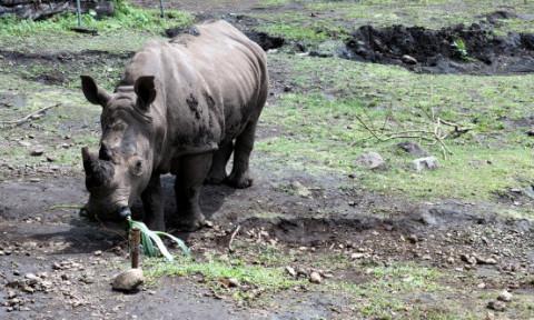 Ultimul rinocer de Sumatra din Malaysia a murit. Care a fost cauza mortii