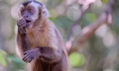 Maimutele capucin au intrat in propria Epoca de Piatra acum 3.000 de ani