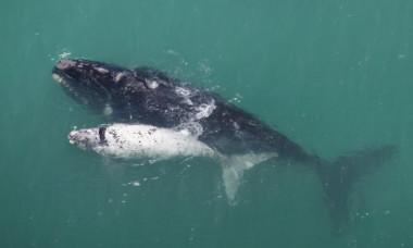 Mamele balena soptesc puilor pentru a se apara de pradatori. Cum reusesc