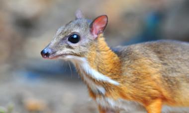 """O specie neobisnuita a fost zarit in salbaticie pentru prima data in 30 de ani. Cum arata """"cerbul-soarece"""""""