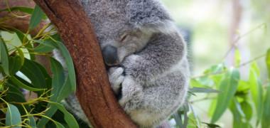 Momentul emotionant in care un pui de koala orfan imbratiseaza un urs de plus dupa ce si-a pierdut mama in incendiile devastatoare