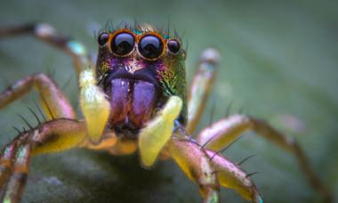 Un paianjen paun nou descoperit seamana cu cel mai cunoscut tablou al lui Van Gogh. Cum arata creatura neobisnuita