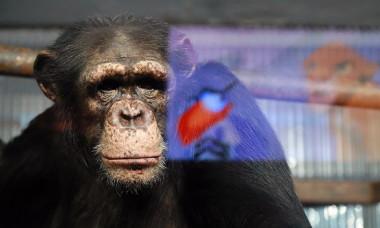 Cimpanzeii dintr-o gradina zoo se uita la desene animate pentru a nu intra in depresie din cauza lipsei turistilor in timpul pandemiei