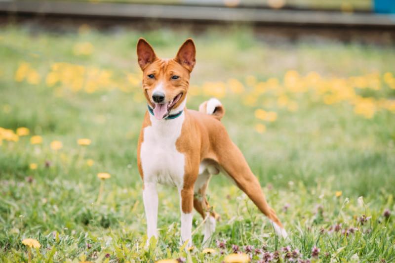 Câini care nu lasă păr prin casă - Basenji