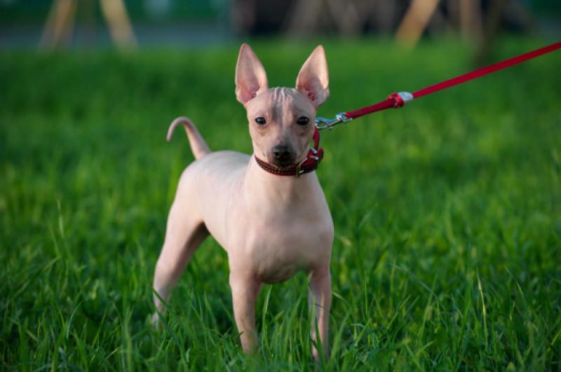 Câini care nu lasă păr prin casă - Terrier american fara par